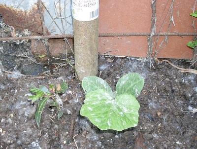 5 zucchina trombetta400